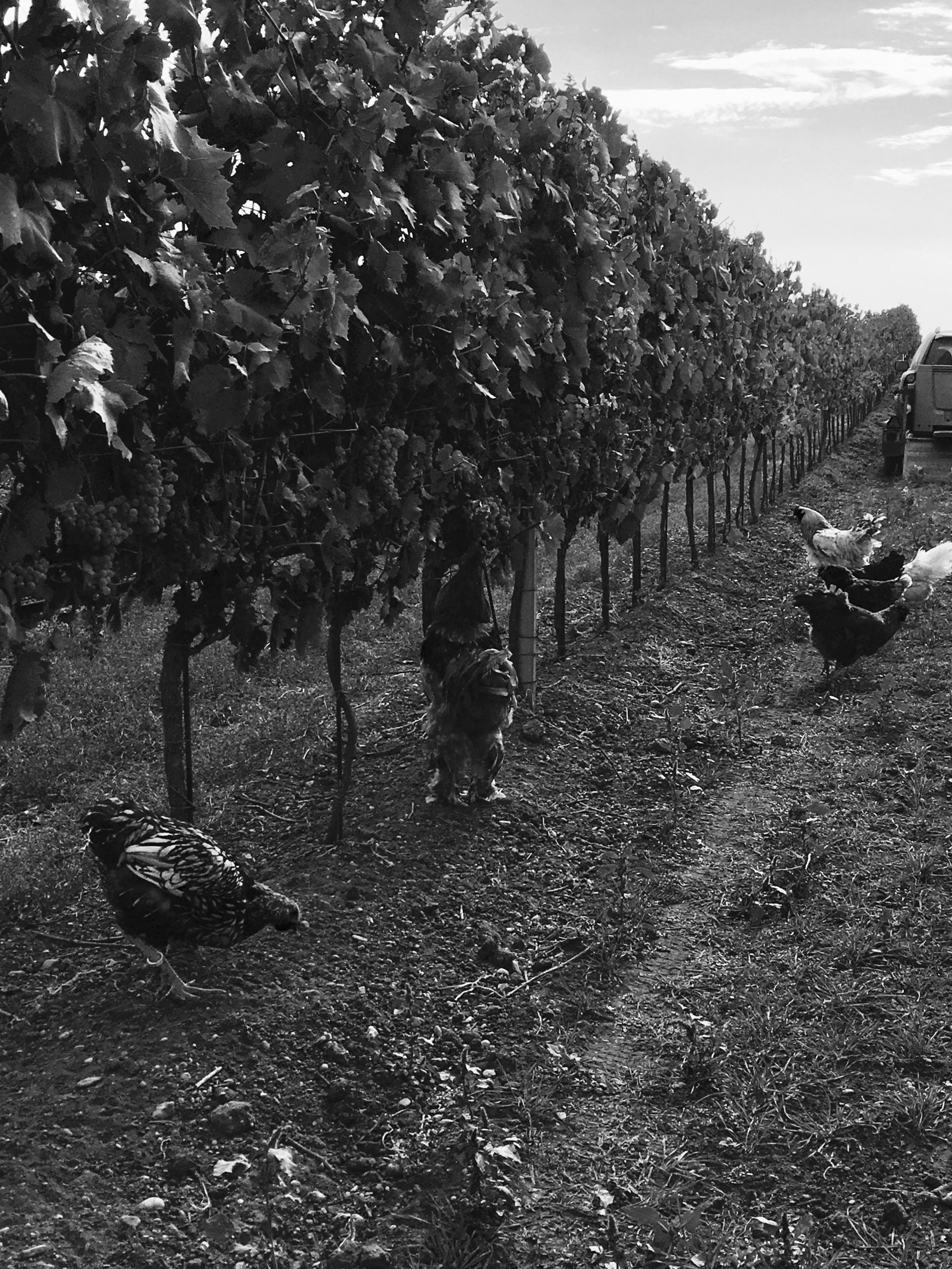 Meinklang innhøsting 2017