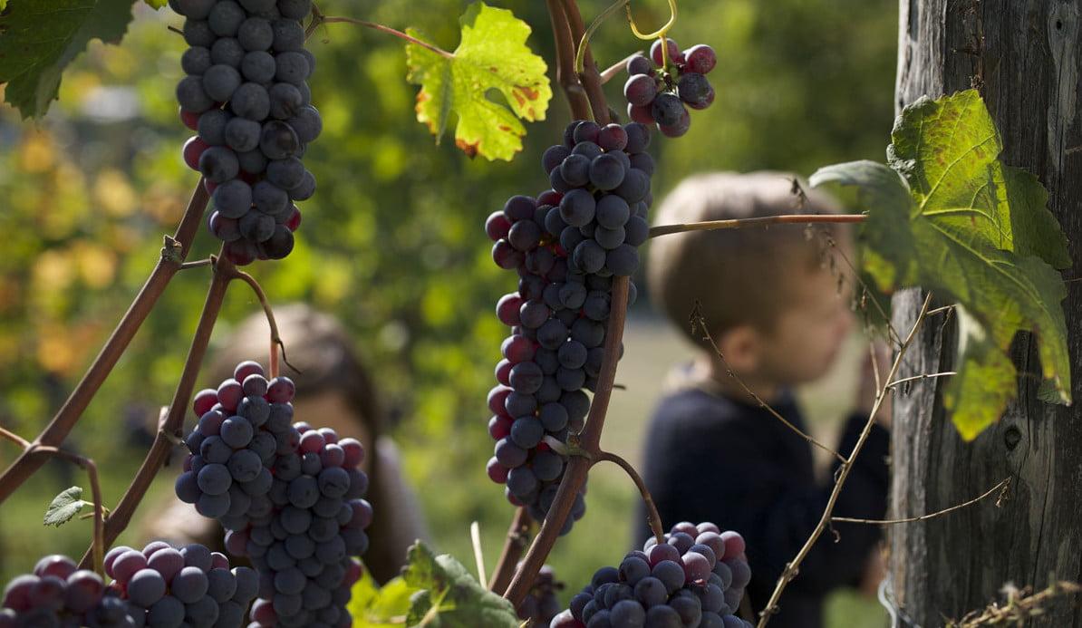 Naturlige Vindruer